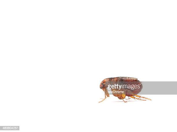 flea - parasite stock photos and pictures