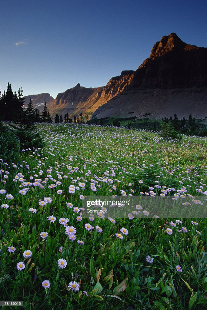 Fleabane in alpine meadow at Logan Pass , Glacier National Park , Montana : Stockfoto