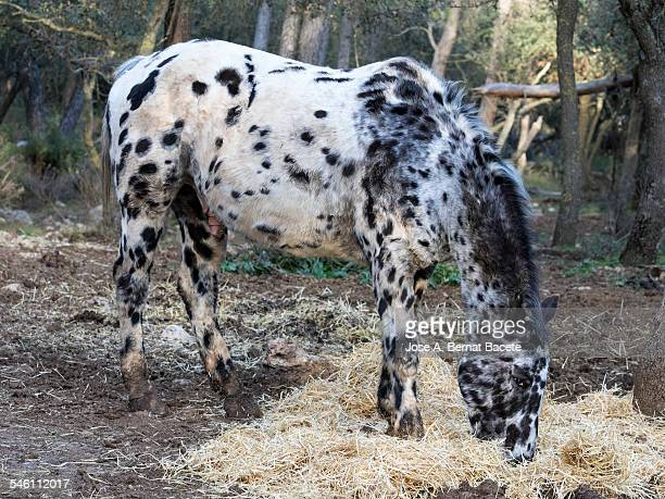 Flecked horse eating under a forest of oaks