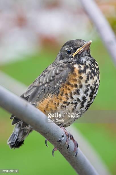 fledgling american robin. - tordo bottaccio foto e immagini stock
