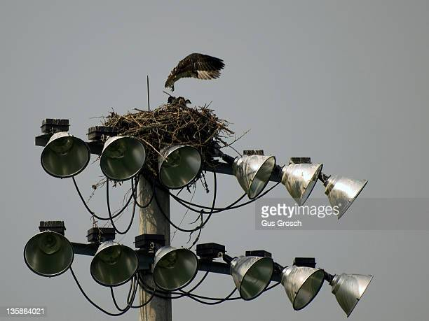 fledgling ospreys (pandion haliaetus) - southport north carolina ストックフォトと画像