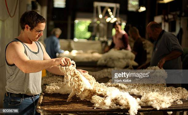 Fleece is skirted and sorted by James Toomey during spring shearing at Cherry Hill Pastoral Company property on October 19, 2009 in Uralla,...