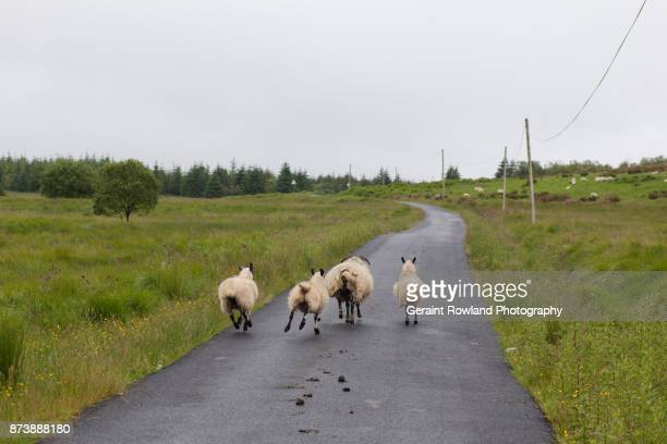 Fleeing Scottish Sheep
