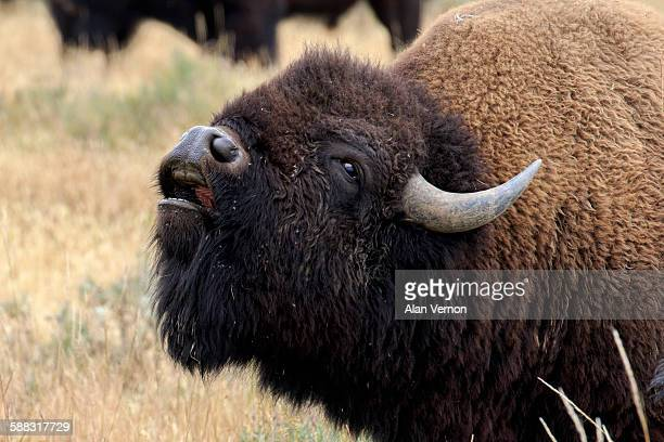 flehmen behaviour in an excited bison bull - bot fly stock photos and pictures