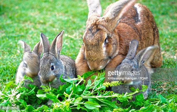 Flemish giant rabbit family