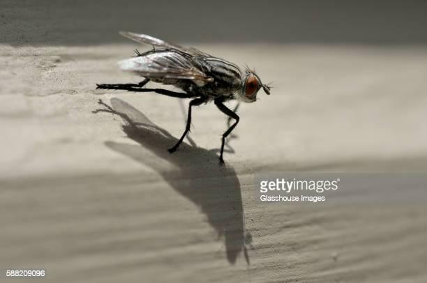 Flesh Fly, Close Up