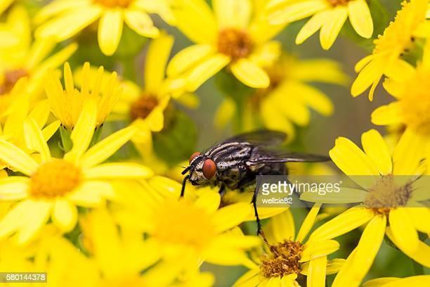 Flesh fly framed by Oxford ragwort flowers