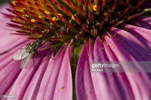 Flesh fly on purple coneflower