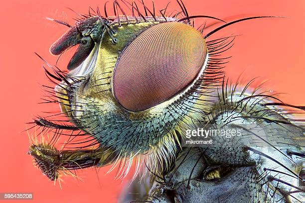 Flesh fly (Sarcophaga bercaea or sarcophaga carnaria fly).