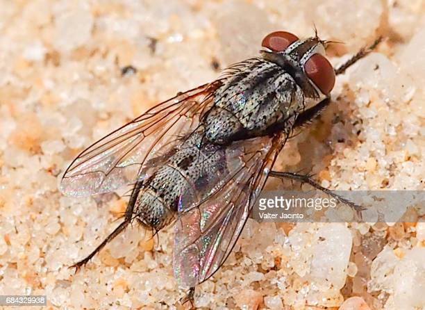 Flesh Fly (Senotainia albifrons)
