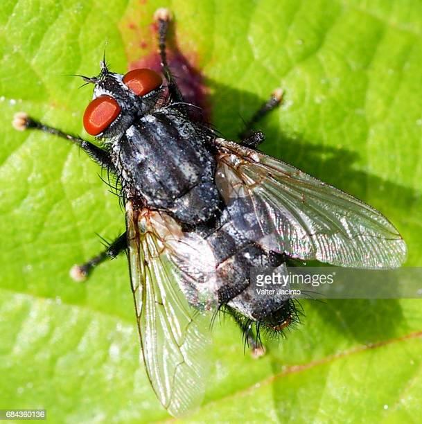 Flesh Fly (Sarcophaga sp.)