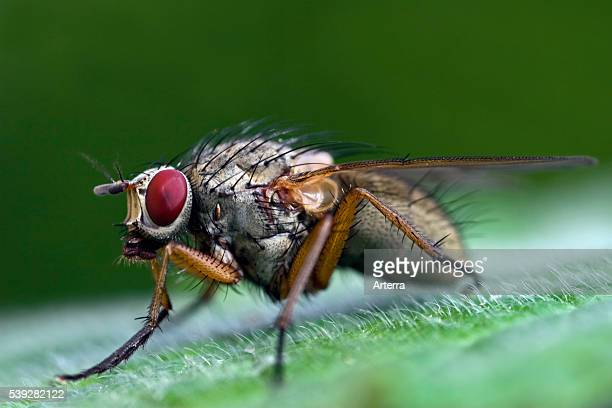 Flesh fly portrait
