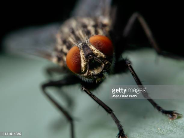 flesh-fly head portrait - fly insect stock pictures, royalty-free photos & images