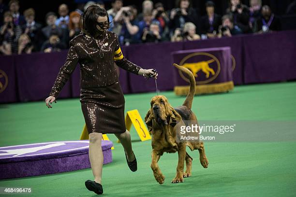 Flessner's International S'cess a bloodhound competes during the Westminster Dog Show on February 10 2014 in New York City The annual dog show...