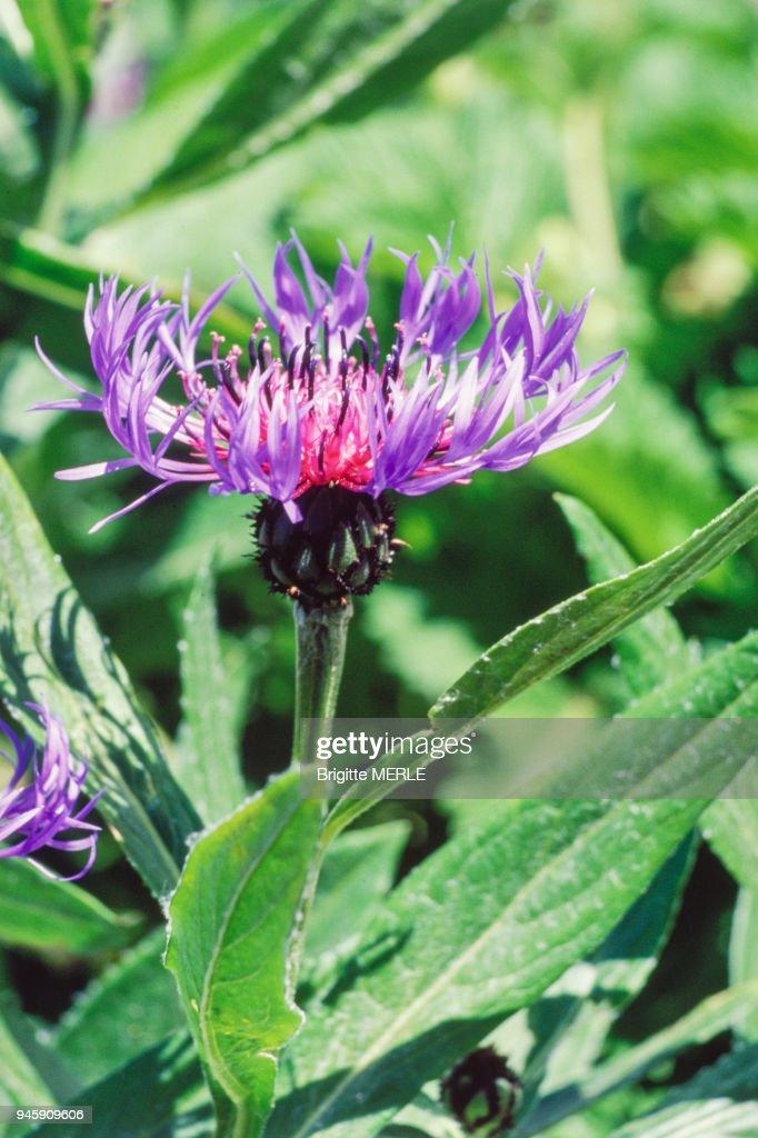 Fleur De Bleuet Vivace News Photo Getty Images