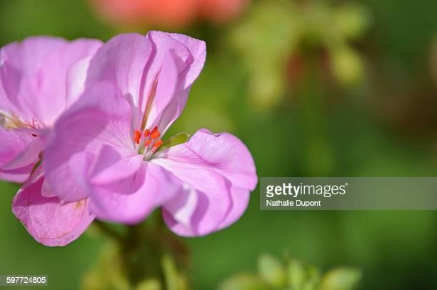 fleur de géranium rose - rose fleur stock photos and pictures