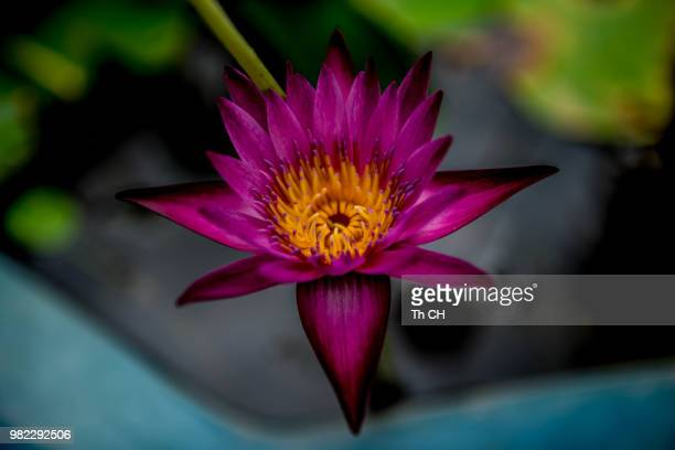 Fleur De Lotus Stock Fotos Und Bilder Getty Images
