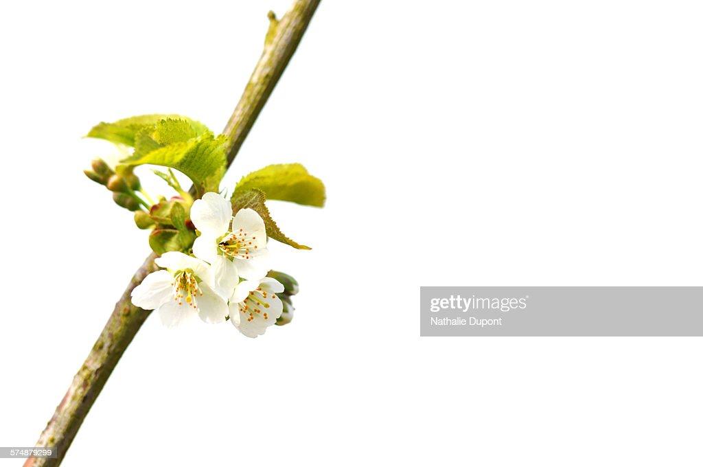 Fleur De Prunier Stock Photo Getty Images