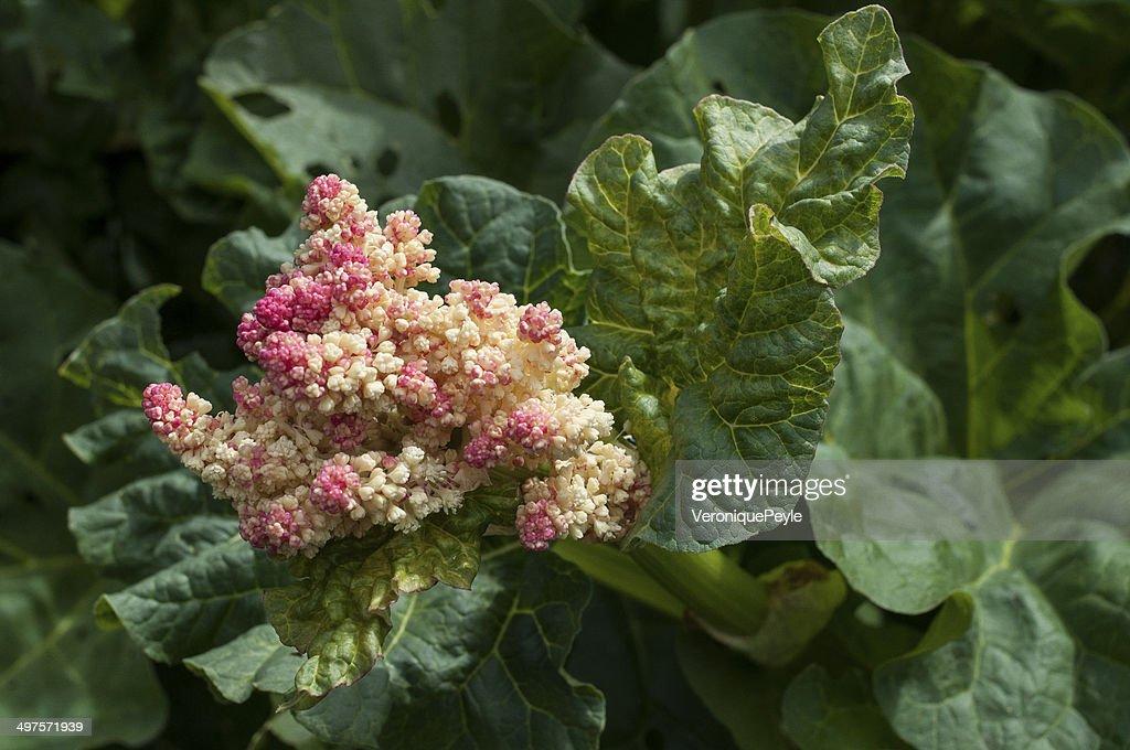 Fleur De Rhubarbe Stock Photo Getty Images