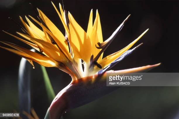 Fleur de Strelitzia reginae