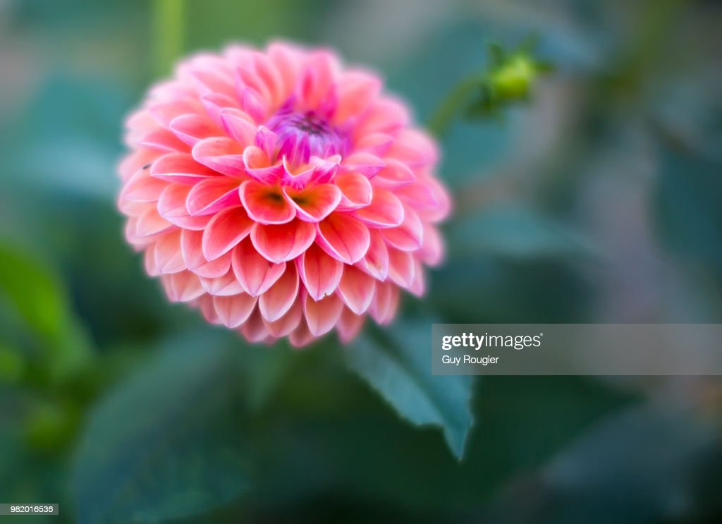 Fleur De Ville Stock Photo Getty Images