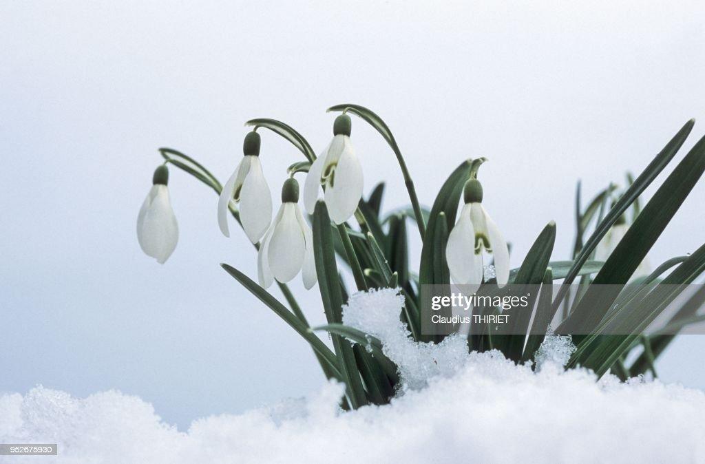 Fleur Perce Neige News Photo Getty Images