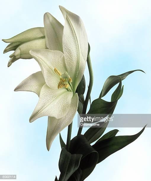 Fleur-de-lis in full bloom