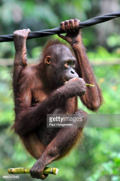 flexible legs @ sepilok orangutan rehabilitation center - hoogeveen stock pictures, royalty-free photos & images