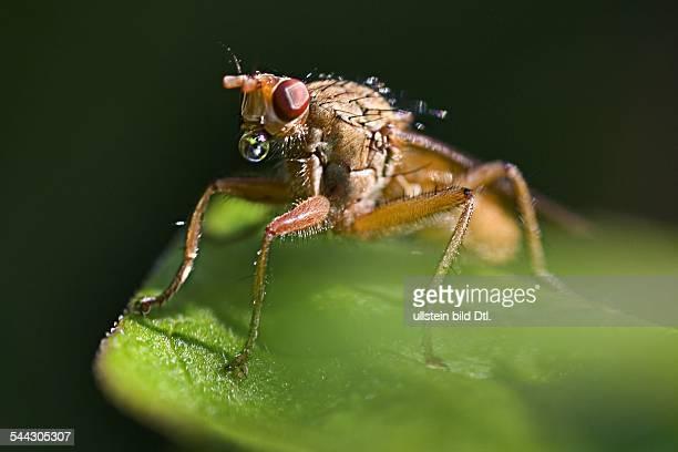 Fliege auf einem Blatt macht eine Blase