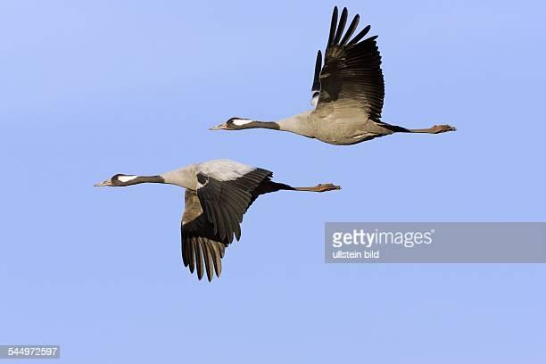 Fliegende Kraniche Graukraniche Flug Vogelzug Vogelschwarm   flying common cranes