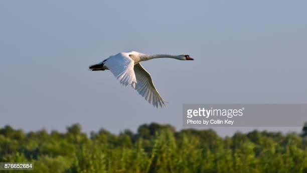 fliegender höckerschwan - collin key stock-fotos und bilder