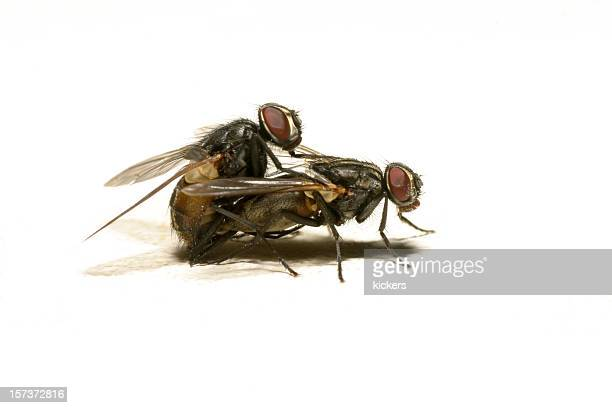 flies mating on white background - housefly stock pictures, royalty-free photos & images