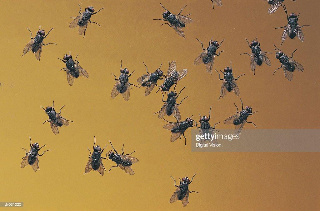 Flies : Stock Photo