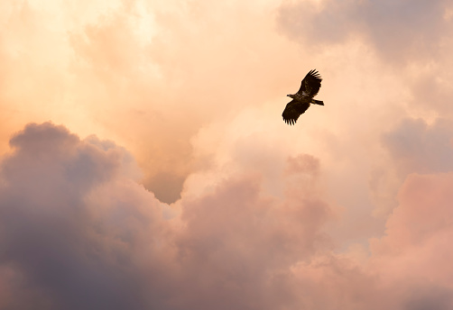 Flight and glory. Steppe eagle flying against cloudy evening sky 945778668