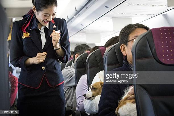 A flight attendant greets the dog during a flight in Chiba Japan on January 27 2017 Japan Airlines 'wan wan jet tour' allows owners and their dogs to...