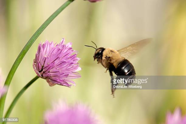 flight of a bumble bee - queen bee stock pictures, royalty-free photos & images
