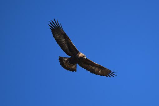 Flight of a Golden Eagle - gettyimageskorea