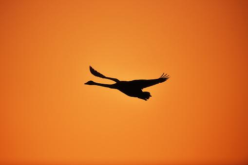 Flight of a Whooper Swan - gettyimageskorea