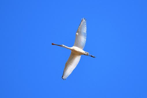 Flight of Eurasian Spoonbill - gettyimageskorea