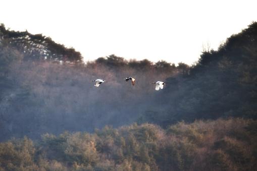 Flight of Japanese Cranes - gettyimageskorea