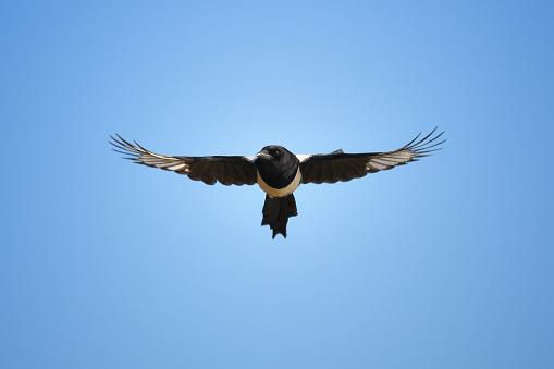 Flight of Magpie - gettyimageskorea