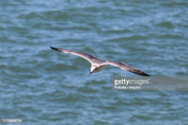 flight of seagull - purbella stock photos and pictures