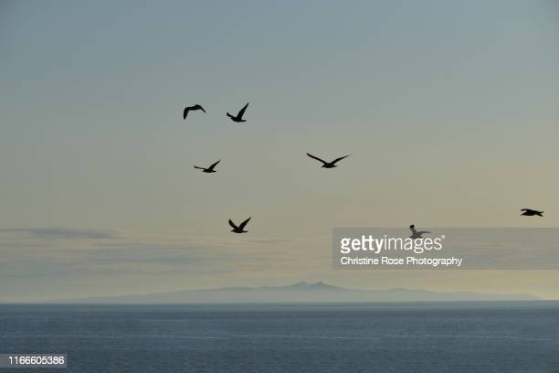 flight of seagulls - isle of man stock pictures, royalty-free photos & images