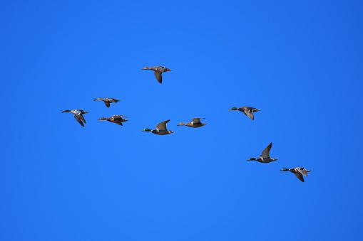 Flight of Shovelbills and Mallard Ducks - gettyimageskorea