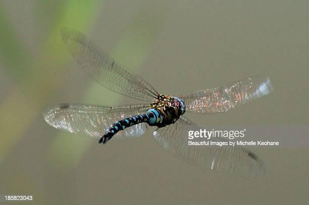 Flight of the Emperor Dragonfly
