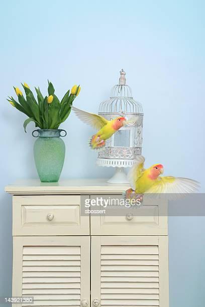 Voo de dois Lovebirds
