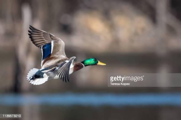 flight - anatra uccello acquatico foto e immagini stock