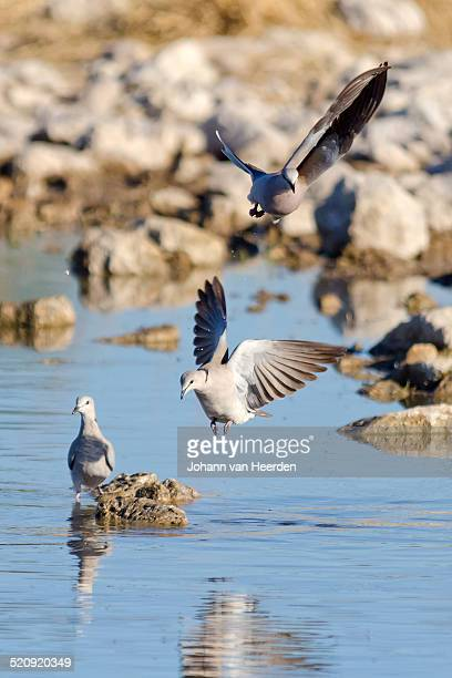 flight sequence - turtle doves stock photos and pictures