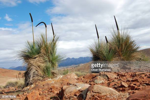 flinders randes - gras trees - gras stock pictures, royalty-free photos & images