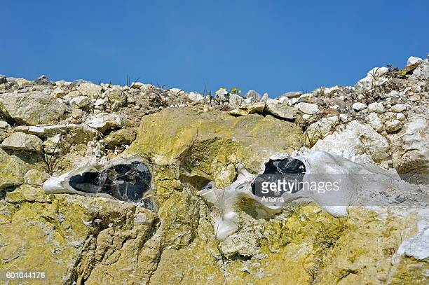 Flint / chert / silex in topsoil of chalk cliff at Cap BlancNez Cote d'Opale France